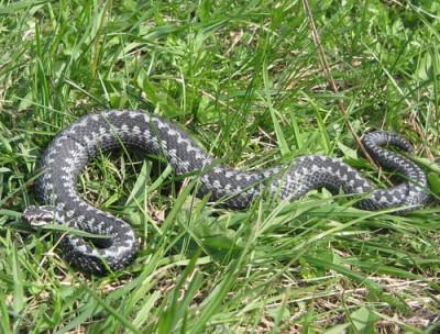 серые змеи в лесу маскируются в траве и на ветках