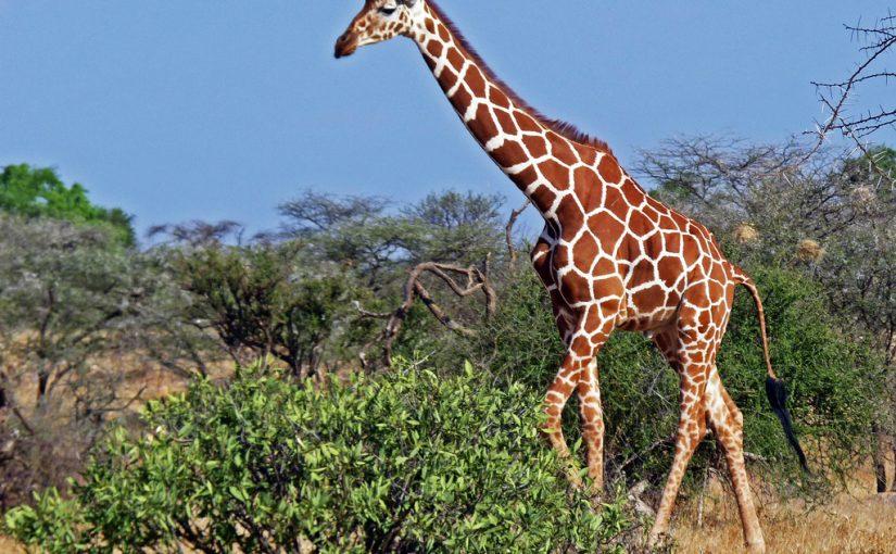 львы охотяттся на жирафа, жираф в пустыне синее небо зеленые кусты