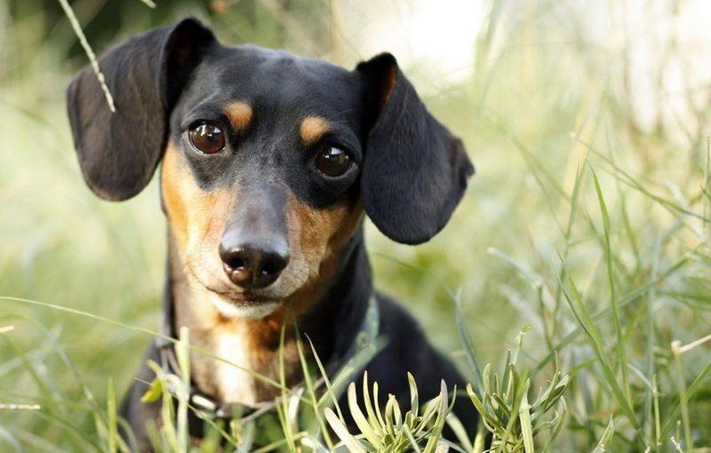 собака такса нашла в лесу кошелек и деньги принесла хозяину