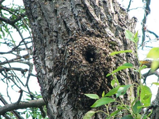 дупло диких пчёл внутри дерева как найти
