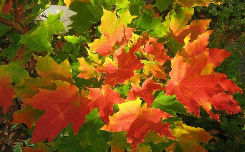 опавшие яркие листья клёна в парке на траве, желтые оранжевые красные и зелёные