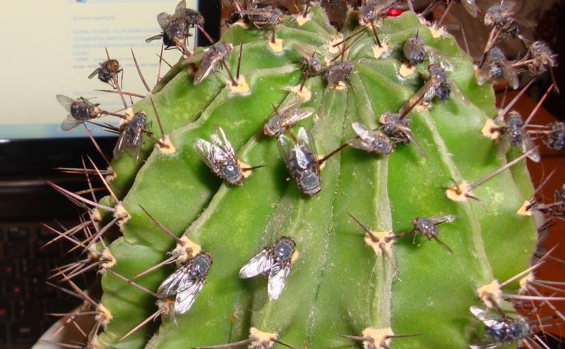 наколоть, насаживать мух и смотреть фото насекомых на иголки кактуса