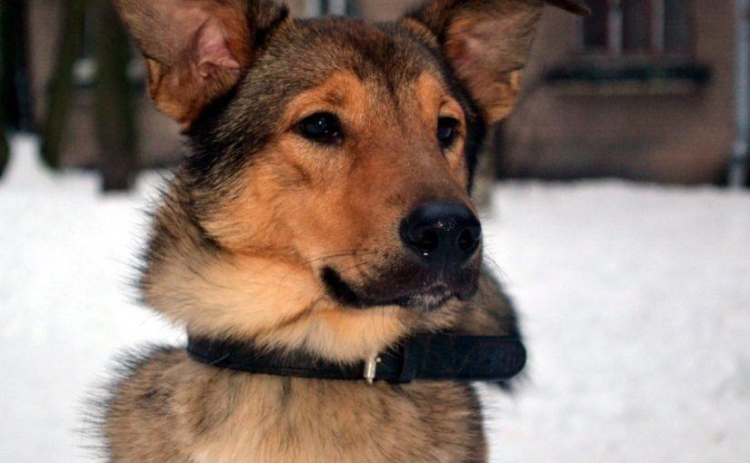 собака, дворняга